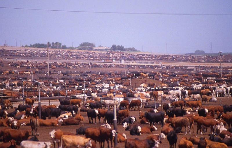 Cattle Farming Techniques